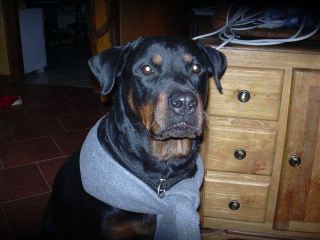 Jumpy, chien Rottweiler