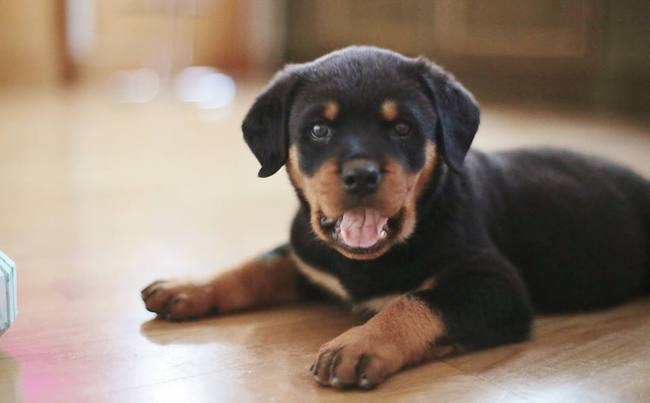 Jagger, chien Rottweiler