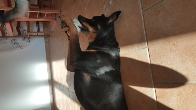 Shana, chien Rottweiler