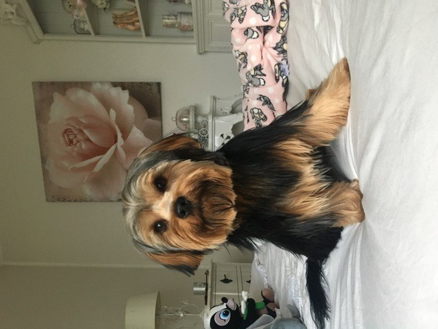 Roucky, chiot Yorkshire Terrier