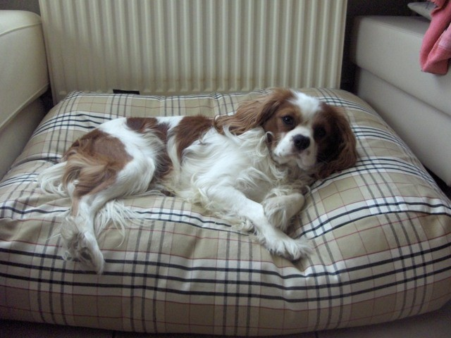 Roucky, chien Cavalier King Charles Spaniel