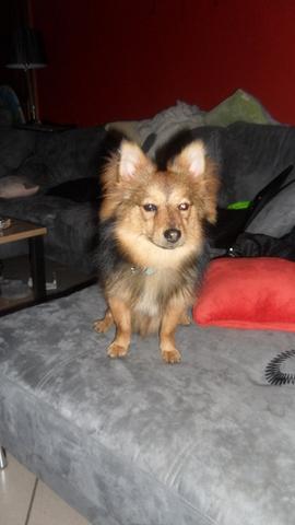 Rox, chien Spitz allemand
