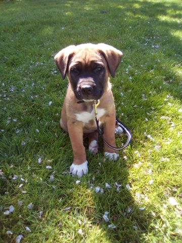 Rox, chien Bouledogue français