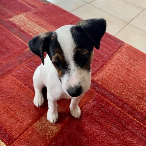 Roxie, chiot Jack Russell Terrier