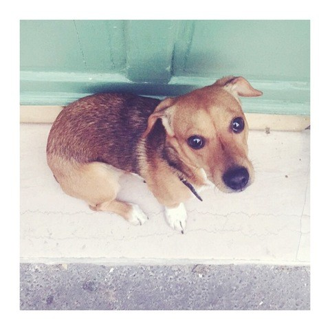 Roy, chien Jack Russell Terrier