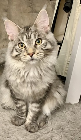 Roy, chaton Maine Coon