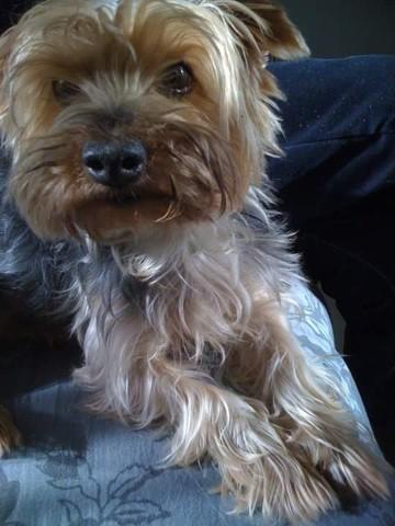 Rub5, chien Yorkshire Terrier