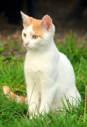 Sac-à-Puce, chaton Européen