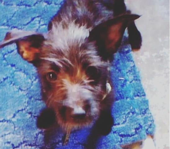 Safire, chien Pinscher
