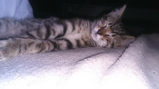 Safran, chaton Gouttière