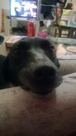 Samba, chien Border Collie