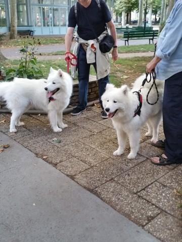 Wolfy, chien Samoyède