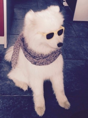 Jango, chien Samoyède