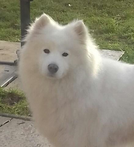 Izia, chien Samoyède