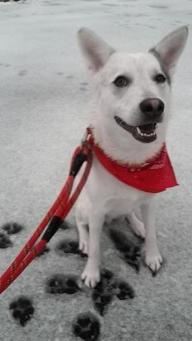 Sanji, chien Berger blanc suisse
