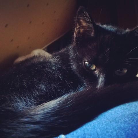 Sanka, chaton Européen
