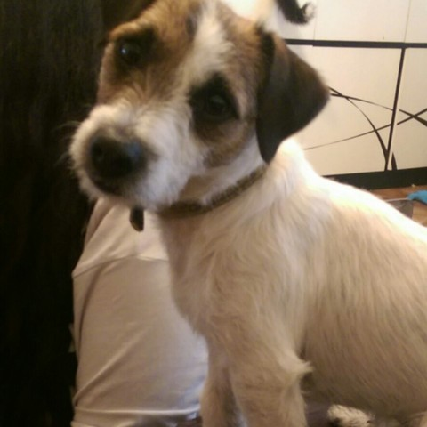 Sapeur, chien Jack Russell Terrier