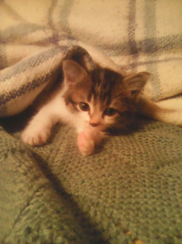 Saphira, chaton