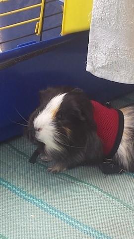 Saphyr, rongeur Cochon d'Inde
