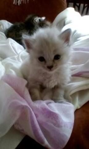 Satheene-Lou, chaton Angora turc