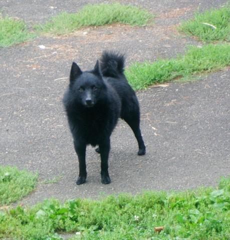 Enzo, chien Schipperke