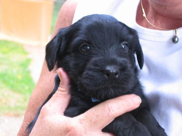 Darkhan, chien Schnauzer