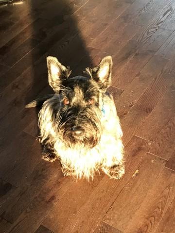Cooper, chien Scottish Terrier