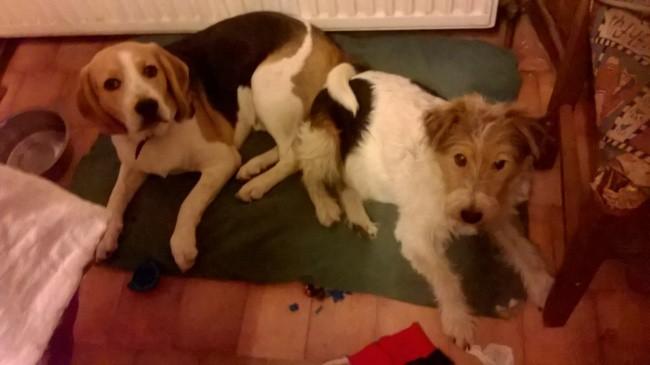 Scotty, chien Beagle