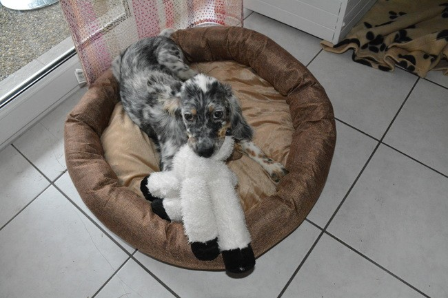 Lewis, chien Setter anglais