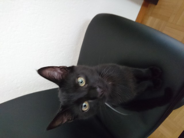 Shadow, chaton