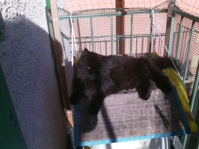 Shadow De L'Ile De Tiare, chat Maine Coon