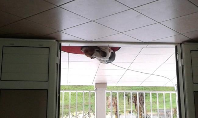 Shana, chien Jack Russell Terrier