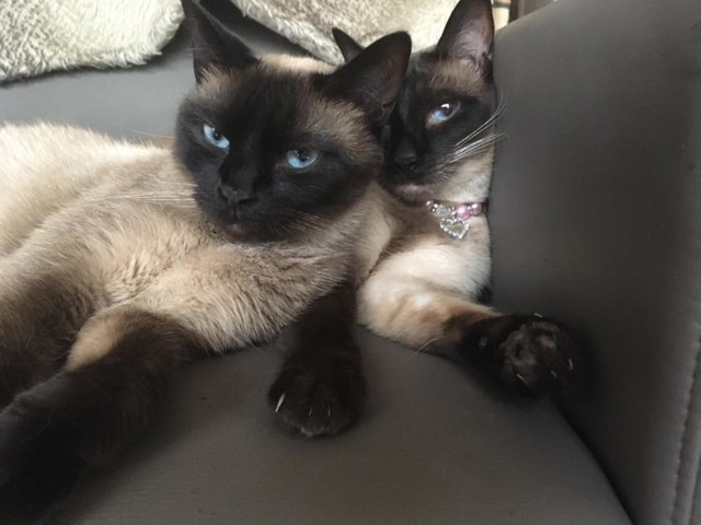 Shana Et Luna, chat Siamois