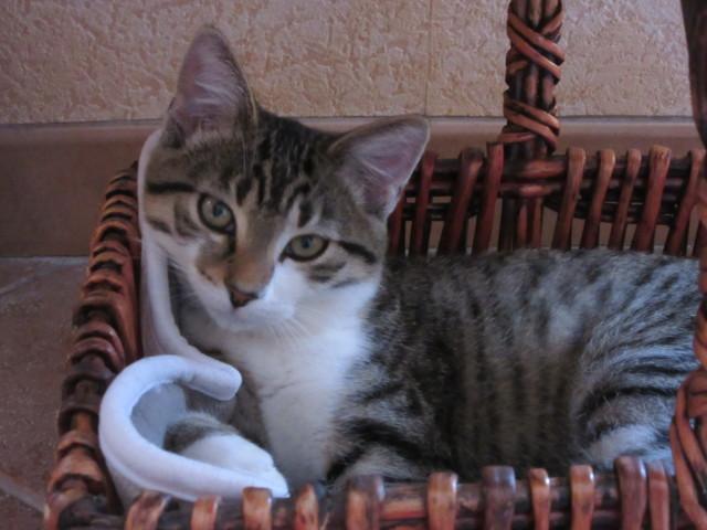Shanel, chaton Européen