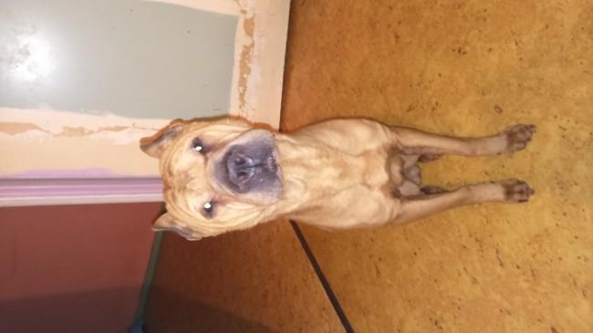 Erwin, chien Shar Pei