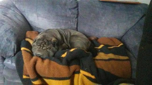 Tsuki, chien Shar Pei