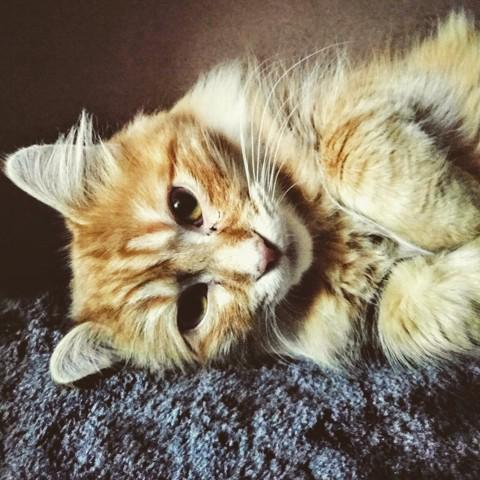 Shelby, chaton Européen