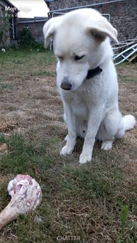 Shelton, chien Husky sibérien