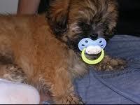 Murphy, chien Shih Tzu