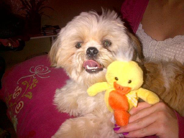 Gus, chien Shih Tzu