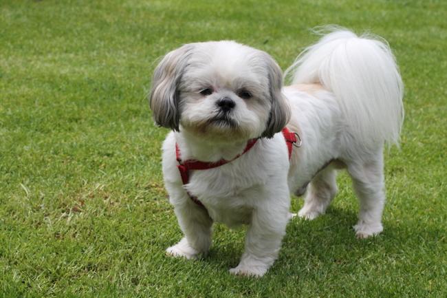 Byron, chien Shih Tzu