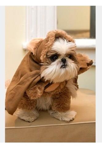 Sunday, chien Shih Tzu