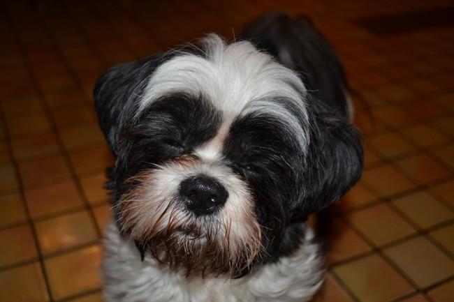 Take Away, chien Shih Tzu