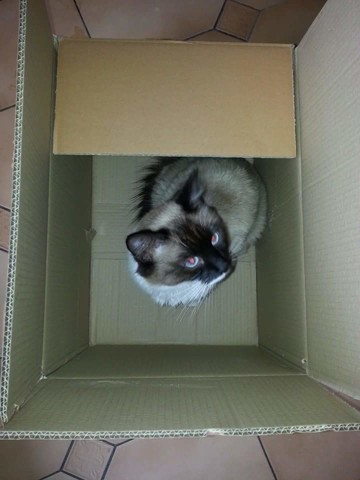 Shira, chat Birman