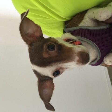 Shirley, chien Teckel