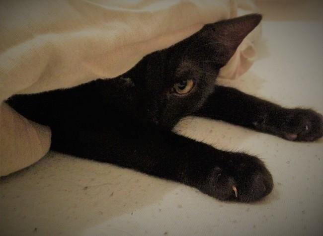 Shiro, chaton Européen
