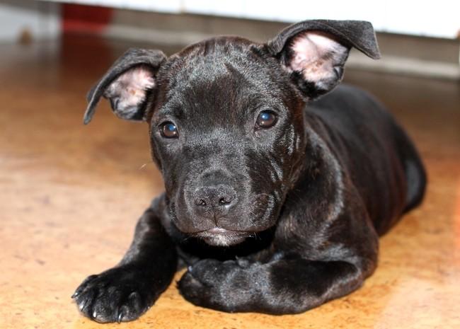 Shun, chiot Staffordshire Bull Terrier