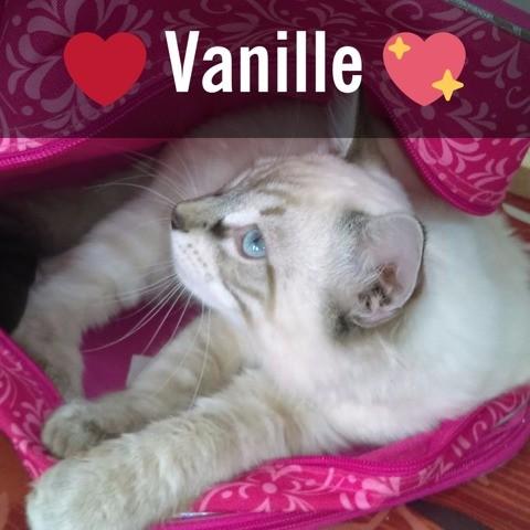 Vanille, chaton Birman