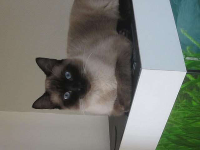 Siam, chat Siamois