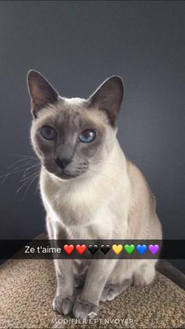Souki, chat Siamois